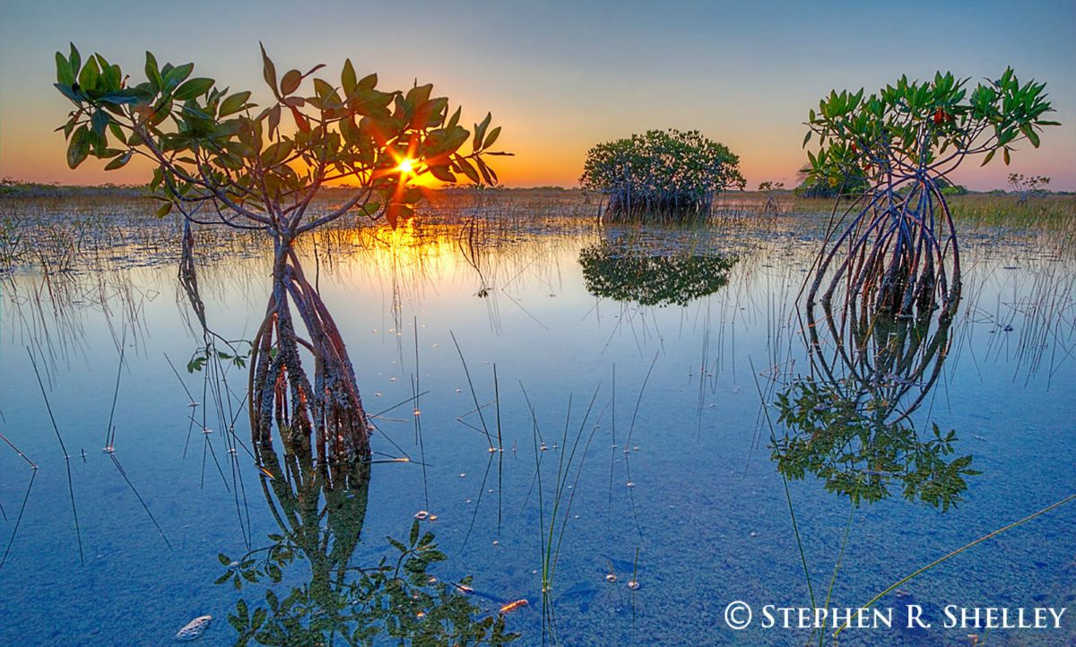 Everglades Lillies