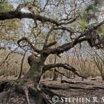 Myakka Oak
