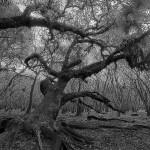 Myakka Oak Bowing to the Sun