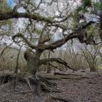 Myakka Oak 2