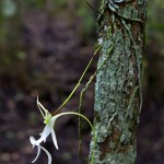 Ghost Orchid 8