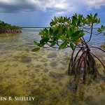 Mangrove and Approaching Storm