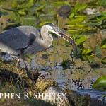 Great Blue Heron and Catfish