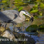 Great Blue Heron and Catfish 2
