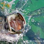 Open Mouth Tarpon