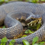 Coiled Water Moccasin