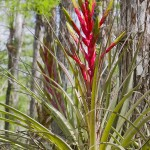 Cypress Dome Bromeliad