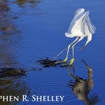 Snowy Egret Catching Breakfast