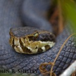 Water Moccasin Close Up