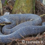 Water Moccasin on Tree Stump