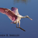 Roseate Spoonbill on Final Approach