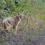 Everglades National Park Bobcat
