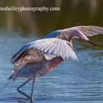 Dancing Reddish Egret