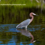 Reddish Egret with Breakfast