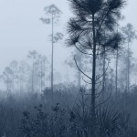 Everglades National Park Foggy Pinelands
