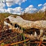 Alligator Skull Landscape2