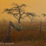 EvergladesZTreeFoggySunrise