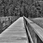 Corkscrew Swamp Black and White 2