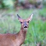 Myakka Deer