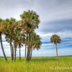 Myakka River State Park Palm Trees