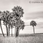 Myakka River State Park Black and White