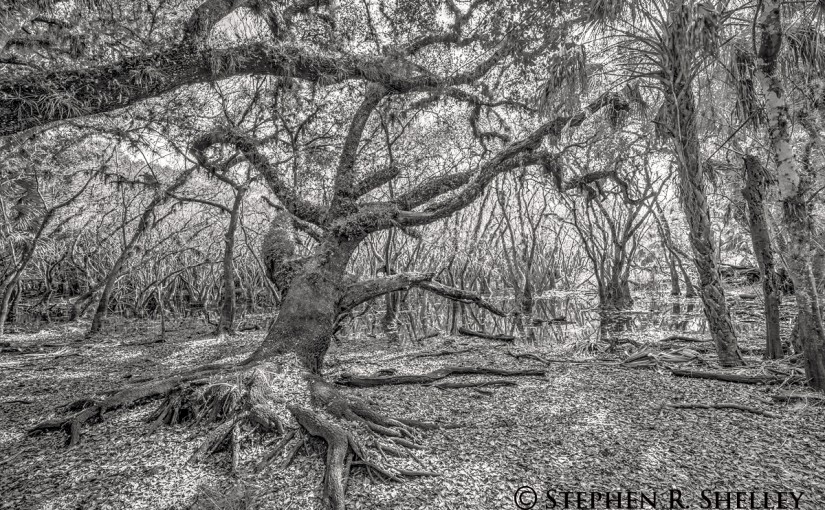 Myakka River State Park Oak Tree