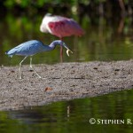 Little Blue Heron with Shrimp